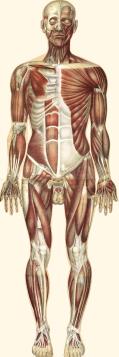 Le corps humain et grandeur naturelle – Julien Bougle